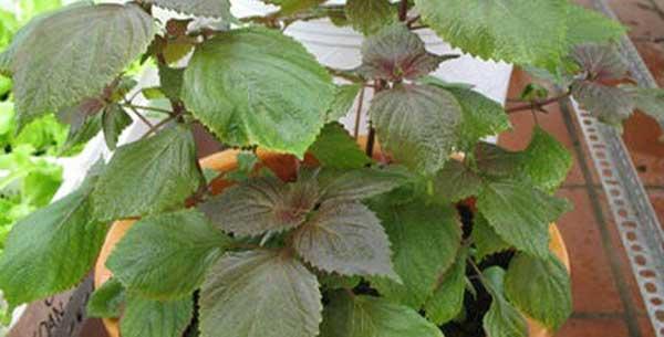 cach trong tia to cach cham soc giup tia to tai nha nang suat cao - Cách trồng tía tô, cách chăm sóc giúp tía tô tại nhà năng suất cao