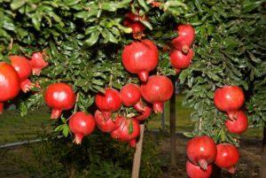 cach trong va cham soc cau luu sai qua 10 - Cách trồng và chăm sóc câu lựu sai quả