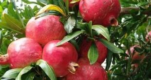 cach trong va cham soc cau luu sai qua 310x165 - Cách trồng và chăm sóc câu lựu sai quả