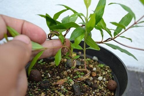 cach trong va cham soc cau luu sai qua 5 - Cách trồng và chăm sóc câu lựu sai quả