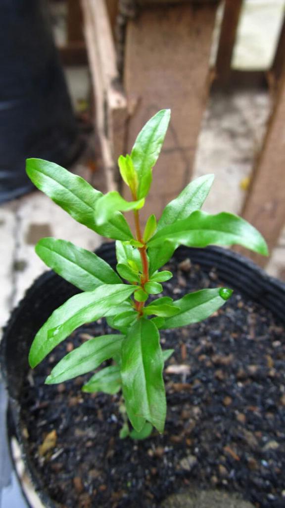 cach trong va cham soc cau luu sai qua 6 - Cách trồng và chăm sóc câu lựu sai quả