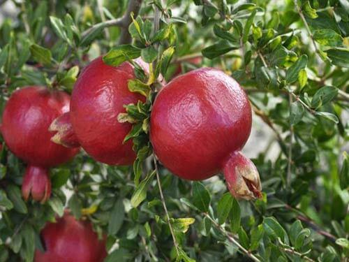 cach trong va cham soc cau luu sai qua 8 - Cách trồng và chăm sóc câu lựu sai quả