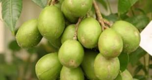 cach trong va cham soc cay coc thai ra qua nhieu 310x165 - Cách trồng và chăm sóc cây cóc thái ra quả nhiều