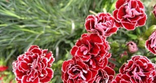 cach trong va cham soc cay hoa cam chuong 310x165 - Cách trồng và chăm sóc cây hoa cẩm chướng