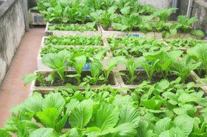 cach trong va cham soc cay rau cai xanh 1 - Cách trồng và chăm sóc cây rau cải xanh