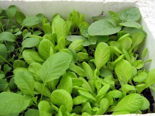 cach trong va cham soc cay rau cai xanh 2 - Cách trồng và chăm sóc cây rau cải xanh