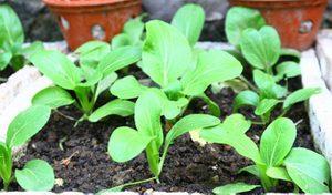 cach trong va cham soc cay rau cai xanh 3 - Cách trồng và chăm sóc cây rau cải xanh