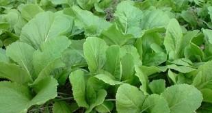 Cách trồng và chăm sóc cây rau cải xanh