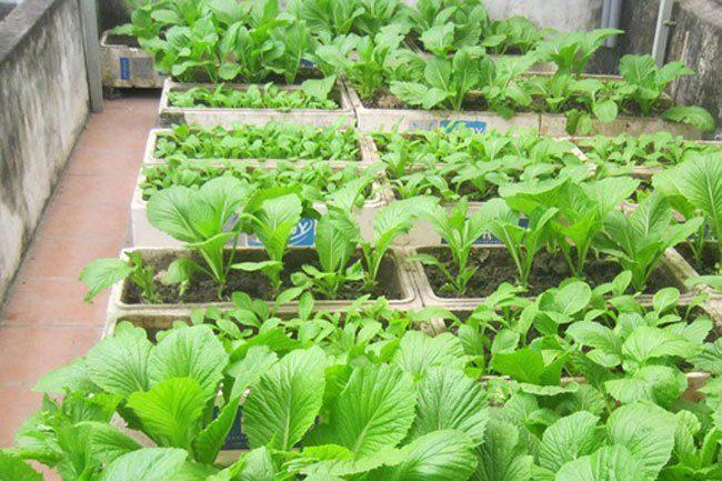 cach trong va cham soc cay rau cai xanh 4 - Cách trồng và chăm sóc cây rau cải xanh