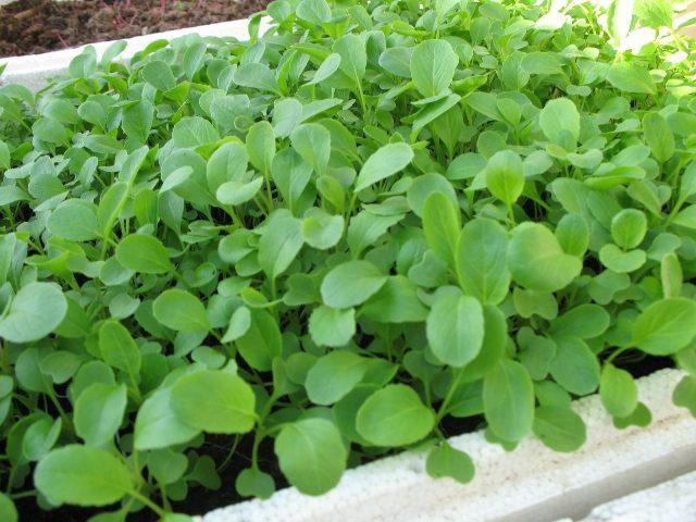 cach trong va cham soc cay rau cai xanh 5 - Cách trồng và chăm sóc cây rau cải xanh