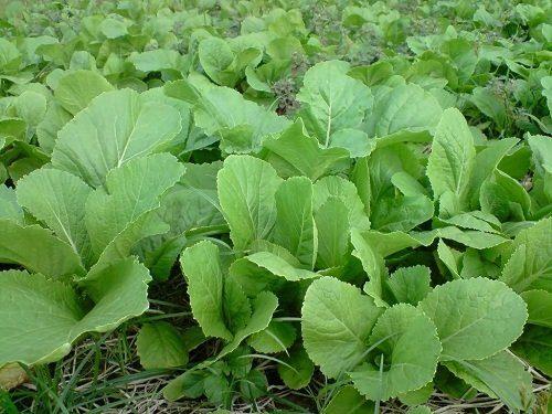 cach trong va cham soc cay rau cai xanh - Cách trồng và chăm sóc cây rau cải xanh