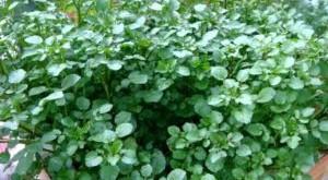 cach trong va cham soc cay rau cai xoong 300x165 - Cách trồng và chăm sóc cây rau cải xoong