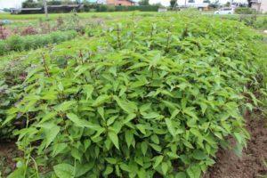 cach trong va cham soc cay rau day trong vuon 3 - Cách trồng và chăm sóc cây rau đay trong vườn