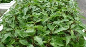 cach trong va cham soc cay rau day trong vuon 300x165 - Cách trồng và chăm sóc cây rau đay trong vườn