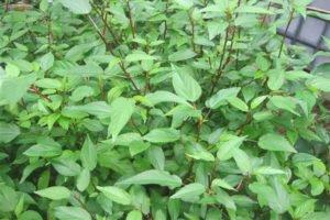 cach trong va cham soc cay rau day trong vuon 4 - Cách trồng và chăm sóc cây rau đay trong vườn