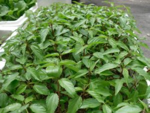 cach trong va cham soc cay rau day trong vuon - Cách trồng và chăm sóc cây rau đay trong vườn