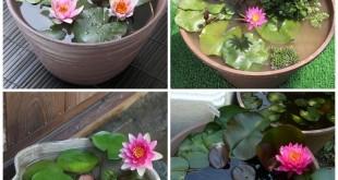 cach trong va cham soc hoa sung mini 310x165 - Cách trồng và chăm sóc hoa súng mini