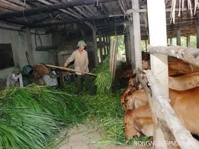 cach u chua la mia va la san lam thuc an cho trau - Cách ủ chua lá mía và lá sắn làm thức ăn cho trâu