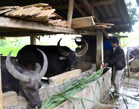 cach xay dung chuong nuoi trau - Cách xây dựng chuồng nuôi trâu