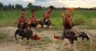 vảy gà chọi