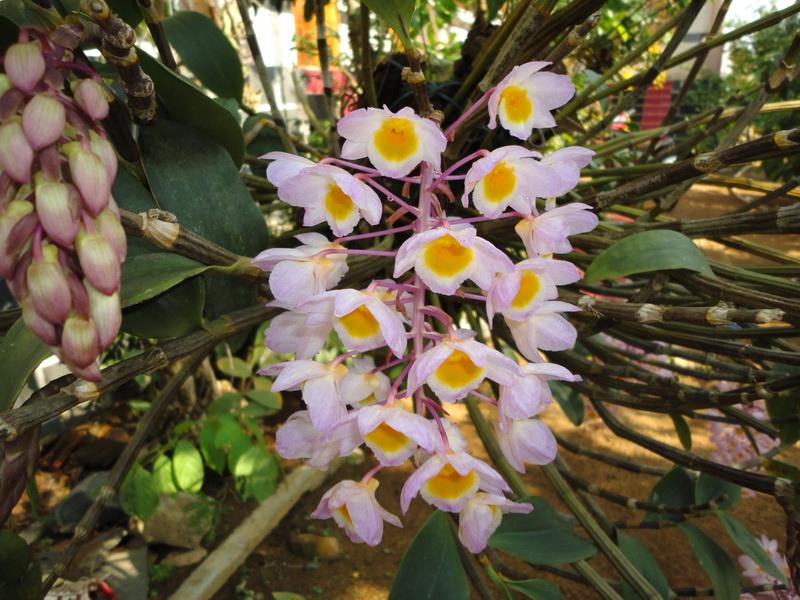 cam nang phan loai hoa lan viet nam 39 - Cẩm nang phân loại hoa lan Việt Nam