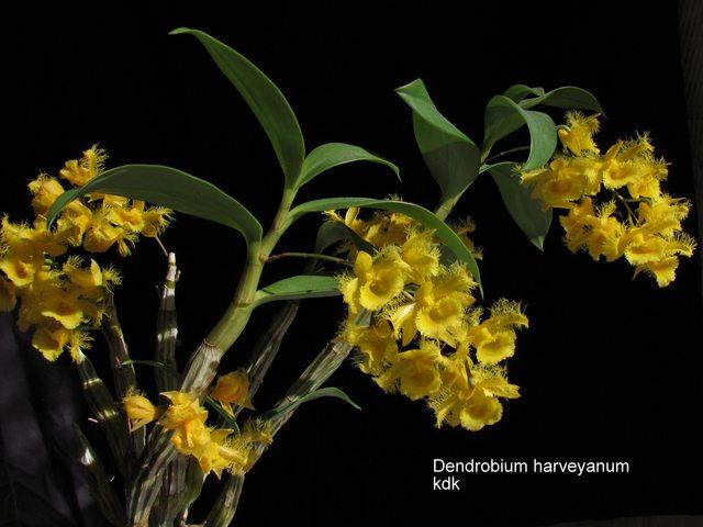 cam nang phan loai hoa lan viet nam 56 - Cẩm nang phân loại hoa lan Việt Nam