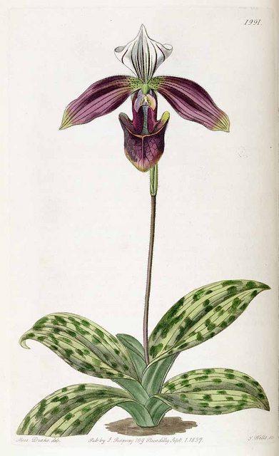 Hoa lan Hài tía - Paphiopedilum purpuratum