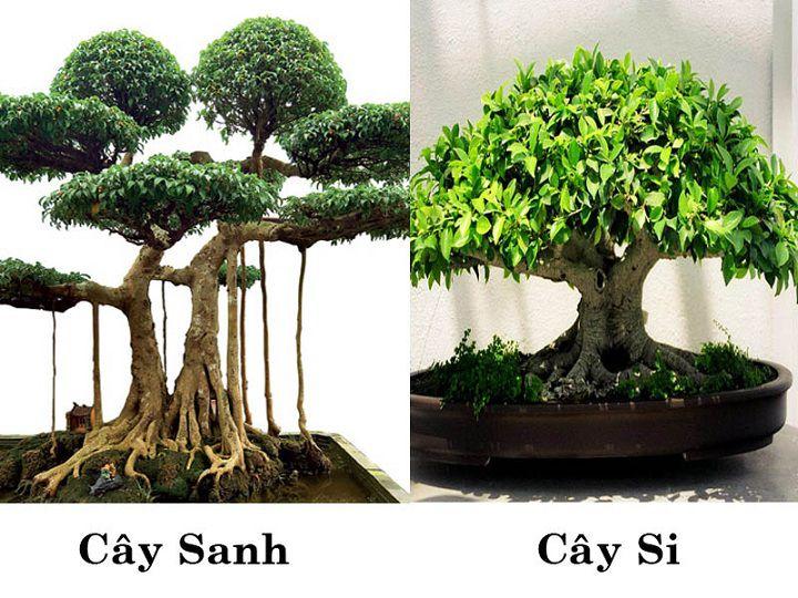 Cây si và cây sanh khác nhau thế nào? Cách phân biệt cây si và cây sanh