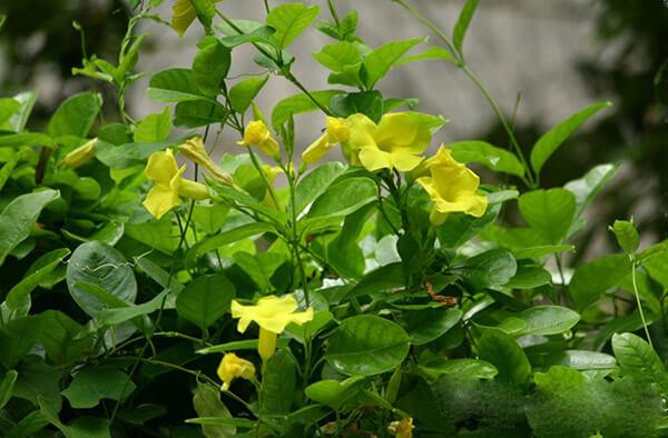 cham soc cay hoa leo hoang thao 1 - Chăm sóc cây hoa leo hoàng thảo