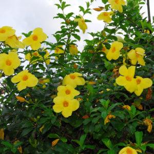 cham soc cay hoa leo hoang thao 2 - Chăm sóc cây hoa leo hoàng thảo