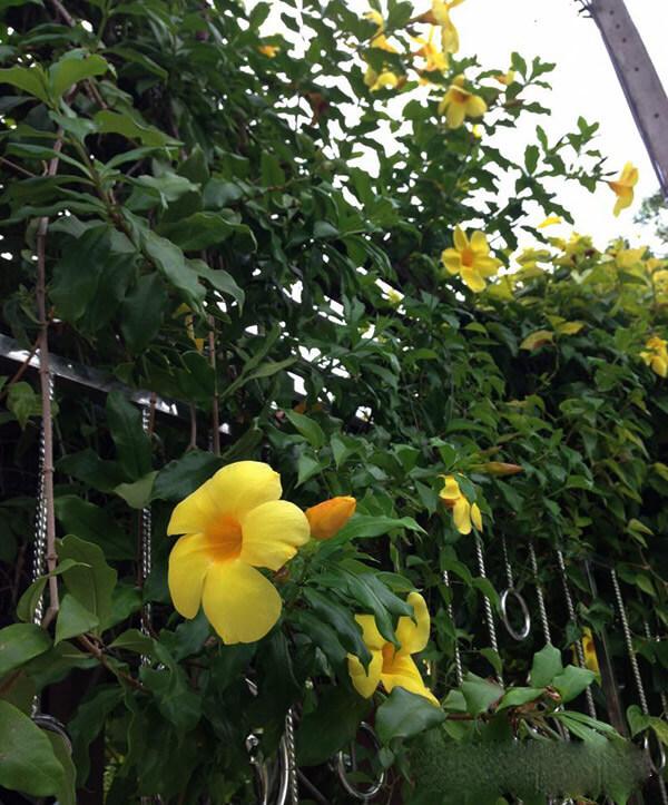 cham soc cay hoa leo hoang thao 3 - Chăm sóc cây hoa leo hoàng thảo