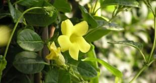 cham soc cay hoa leo hoang thao 310x165 - Chăm sóc cây hoa leo hoàng thảo