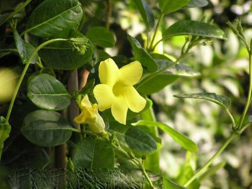 cham soc cay hoa leo hoang thao - Chăm sóc cây hoa leo hoàng thảo