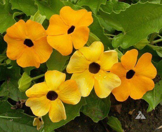 cham soc cay hoa mat huyen tren ban cong 1 - Chăm sóc cây hoa mắt huyền trên ban công