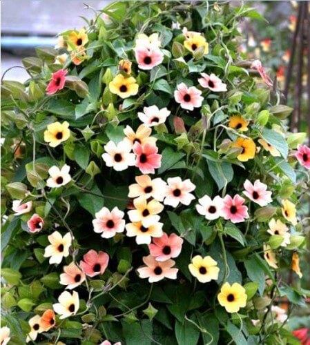 cham soc cay hoa mat huyen tren ban cong 2 - Chăm sóc cây hoa mắt huyền trên ban công