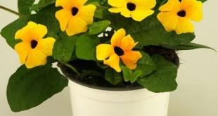 cham soc cay hoa mat huyen tren ban cong 310x165 - Chăm sóc cây hoa mắt huyền trên ban công