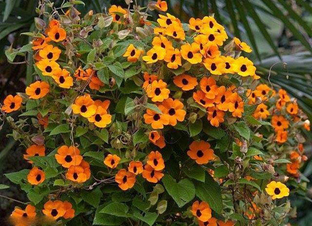 cham soc cay hoa mat huyen tren ban cong 4 - Chăm sóc cây hoa mắt huyền trên ban công
