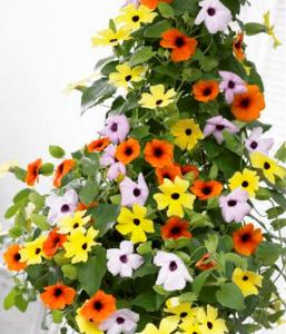 cham soc cay hoa mat huyen tren ban cong - Chăm sóc cây hoa mắt huyền trên ban công