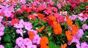 cham soc hoa mai dia thao trong vuon 300x165 - Chăm sóc hoa mai địa thảo trong vườn