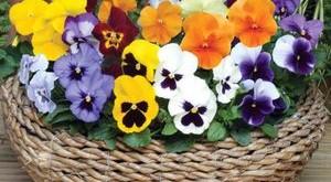 cham soc hoa pang xe dep tuyet voi 300x165 - Chăm sóc Hoa păng-xê đẹp tuyệt vời