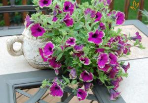 cham soc nhung cay hoa da yen thao 1 - Chăm sóc những cây hoa dạ yến thảo