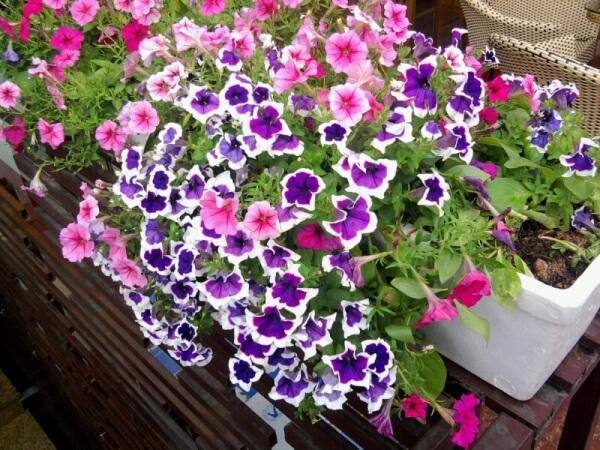cham soc nhung cay hoa da yen thao 3 - Chăm sóc những cây hoa dạ yến thảo
