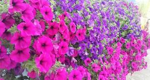 cham soc nhung cay hoa da yen thao 310x165 - Chăm sóc những cây hoa dạ yến thảo