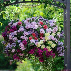 cham soc nhung cay hoa da yen thao 4 - Chăm sóc những cây hoa dạ yến thảo