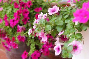 cham soc nhung cay hoa da yen thao 5 - Chăm sóc những cây hoa dạ yến thảo