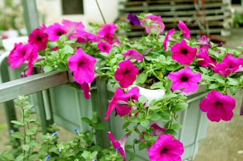 cham soc nhung cay hoa da yen thao 6 - Chăm sóc những cây hoa dạ yến thảo