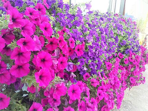 cham soc nhung cay hoa da yen thao - Chăm sóc những cây hoa dạ yến thảo