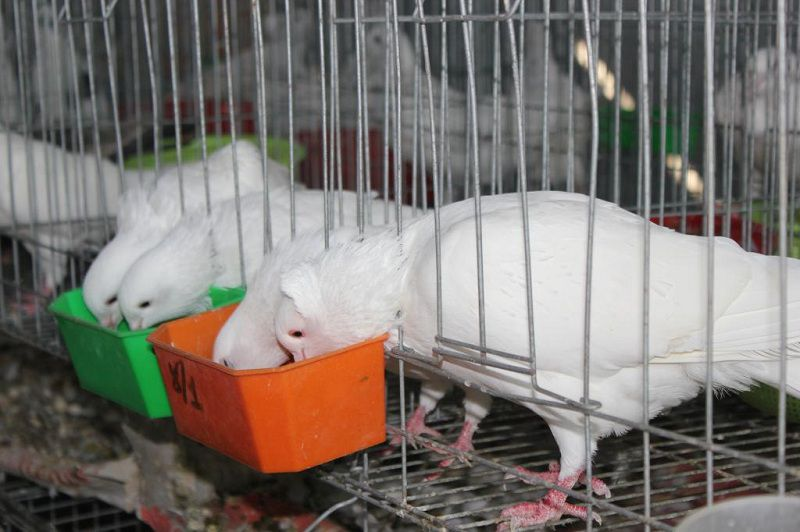 Chim bồ câu ăn gì? Thức ăn cho chim bồ câu. Giá thức ăn chim bồ câu