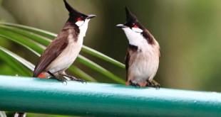 chọn chim chào mào