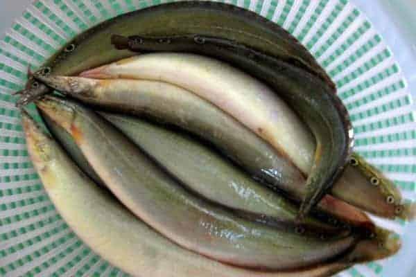 cá chạch đồng